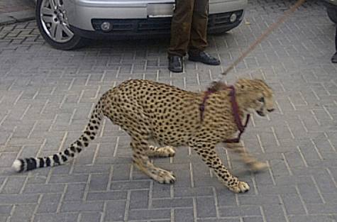 Dubai Porsche Driver Walks Pet Cheetah on a Leash