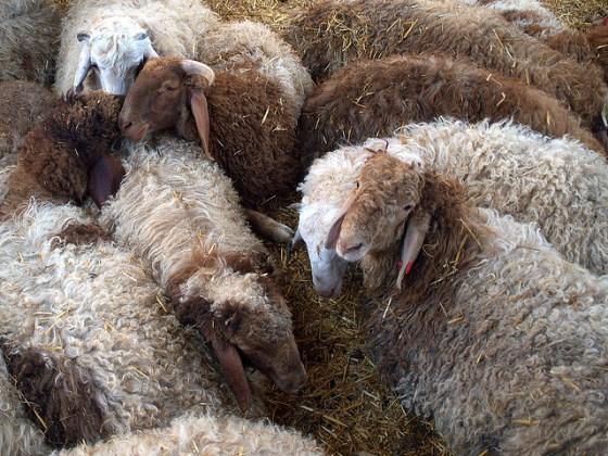 organic goats israel