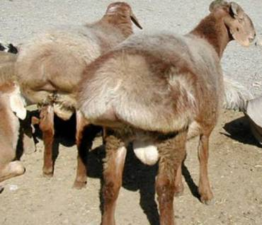 Sheep's Tail Fat, Ancient Middle-Eastern Shmaltz