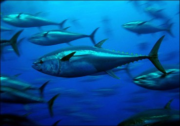 New Electronic Monitoring Device Could Foil Bluefin Tuna Exploits