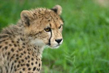 The Cheetah: Nature's 21st Century Feminist