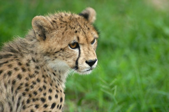 The Cheetah: Nature's 21st Century Feminist