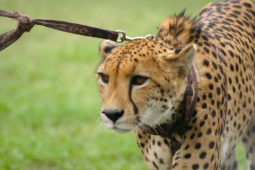 Gulf Country Completely Bans Ownership of Wild Animals