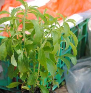 Stevia Sweeteners Now Approved in Israel