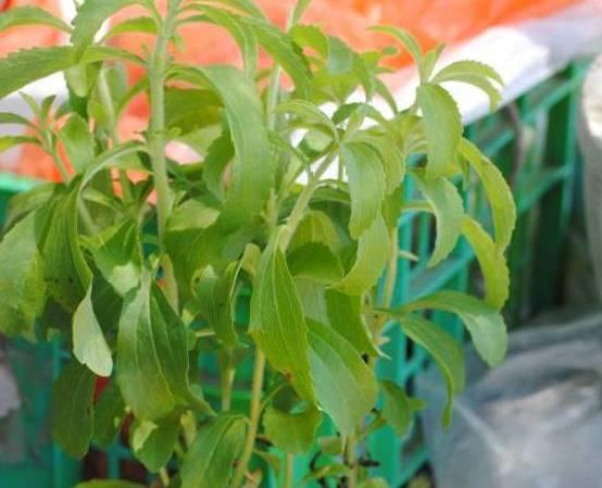stevia plant Israel
