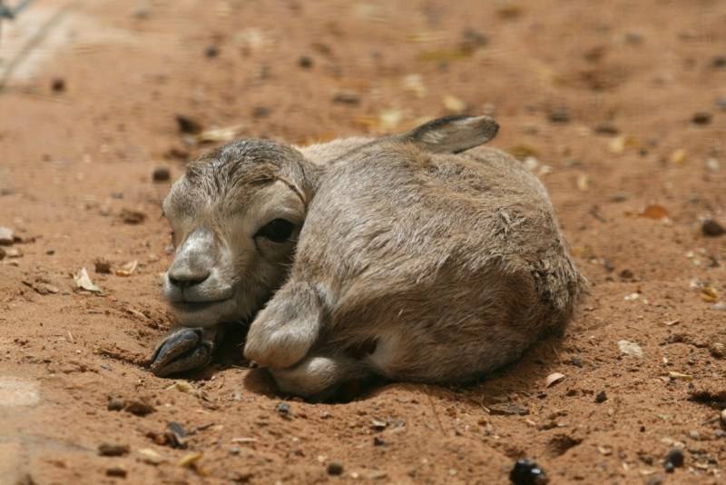 These Pictures of Baby Arabian Sand Gazelles Will Make Your Day