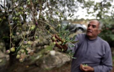 Olive Prices Hit Hard – Explained