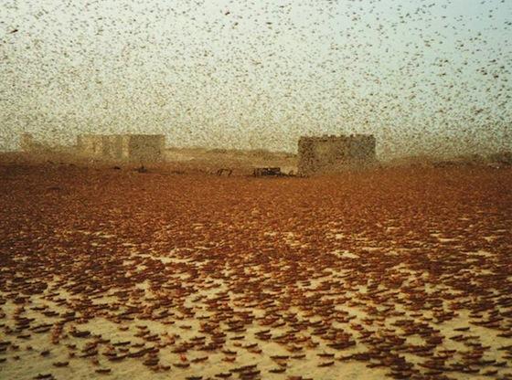 Desert Locusts Swarm West Africa Following Gaddafi's Fall