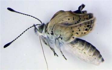 Mutant Fukushima Butterflies Should Discourage Middle East Nuclear