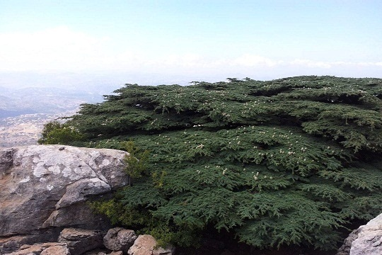 The Lebanese Cedar Survival Passes Tipping Point?