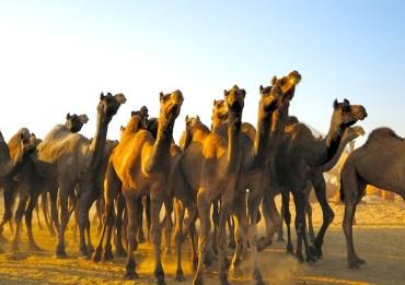 Australia Kills Nearly 400 Camels From the Sky