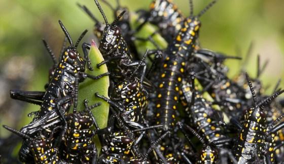 locust swarm image, africa, north Africa, Morocco, algeria food insecurity