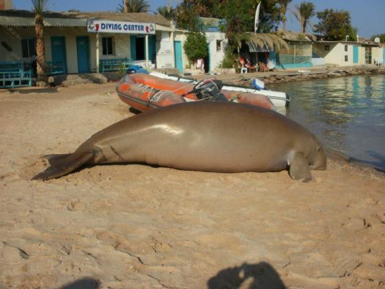 HEPCA, IUCN, Endangered Species, Diving, Egypt, Red Sea, Hurghada, Tourism, Dugong
