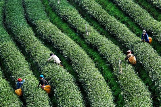 land grab israel, saudi arabia middle east, tea, rice paddy