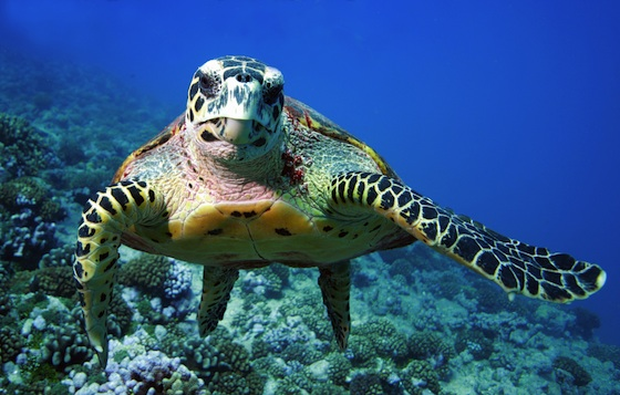 Mediterranean, Sinai, Lake Bardawil, Egypt, Sea Turtles, Mass Deaths, Poison, Nature Conservation, IUCN