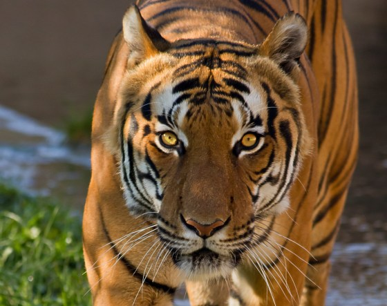 bengal tiger eyes hunting in water