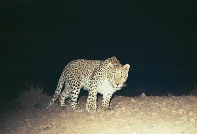 Oldest Persian Leopard Roams Threatened Iranian Park