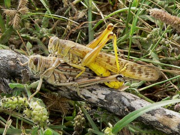 Locusts Swarm Lebanon. Fodder for a Tasty Treat?