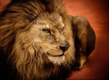 37 Lions and Tigers Confiscated in Saudi Arabia