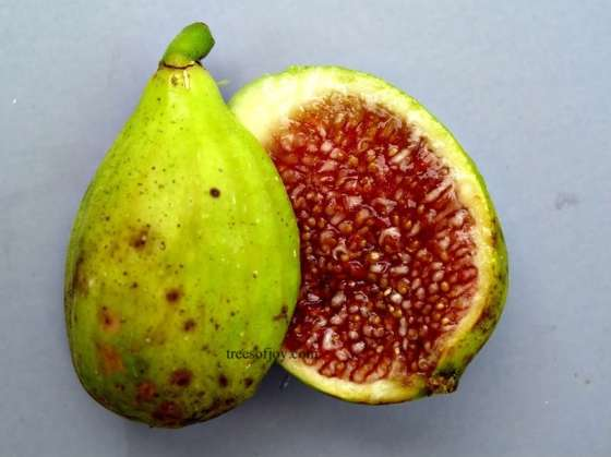 rimaley open fig syria