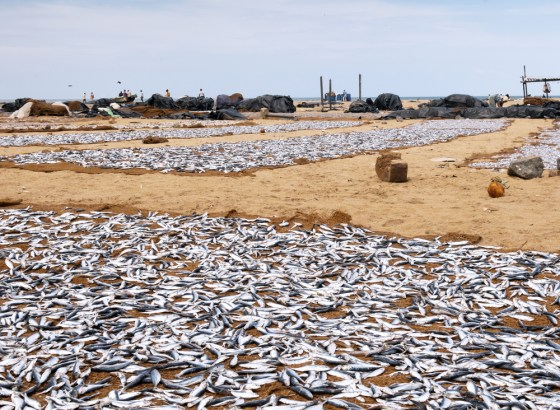 dead fish on beach red tide
