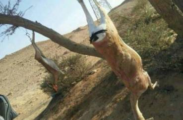 Saudi Gazelle Massacre Sparks Outcry