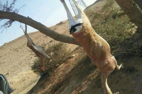 Saudi Gazelle Massacre Sparks Outcry