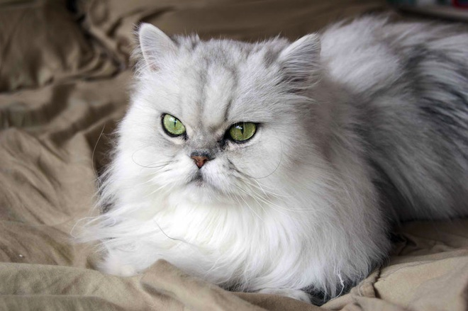 Persian cat, Iran Space Agency, Persian Cat, Space,