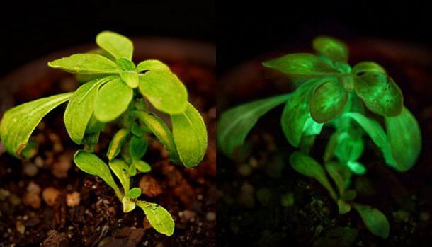 Bioglow plants