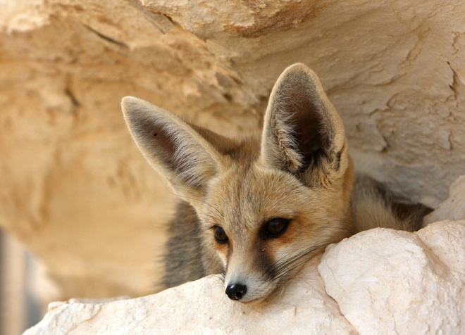 Travel, Tunisia, Fennec Fox, desert, Sahara Desert, desert tourism, conservation, National Geographic, IUCN red list