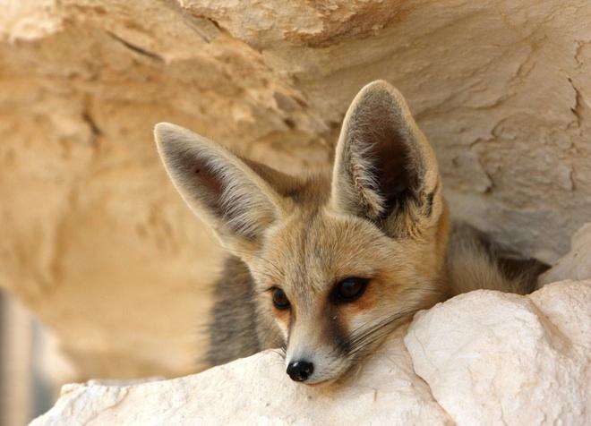 Travel, Tunisia, Fennec Fox, desert, Sahara Desert, desert tourism, conservation, National Geographic, IUCN red list