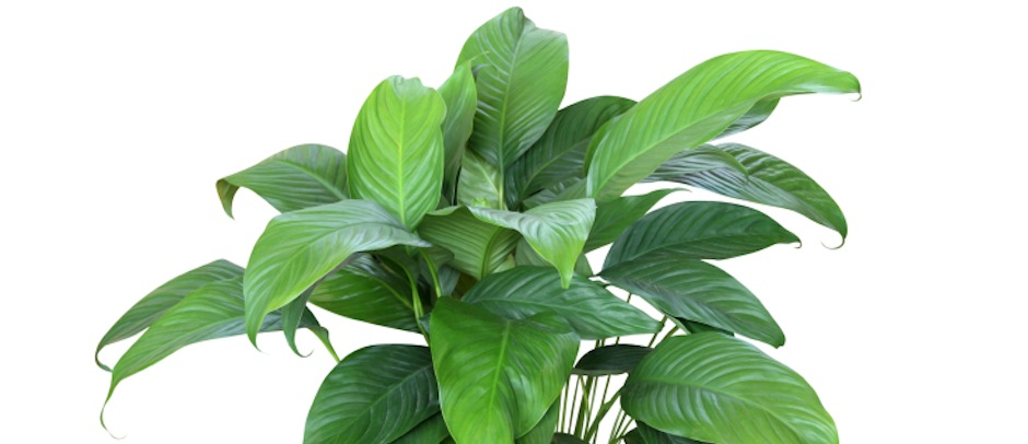 Who needs a maid? Houseplants are powerful cleaners.