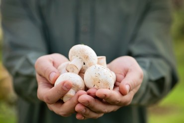 Palestinians cultivate the West Bank's first organic mushrooms!