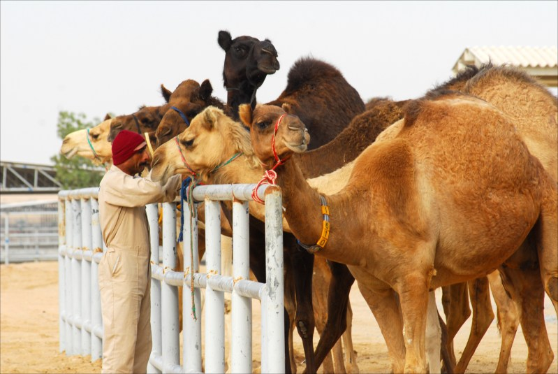 Dubai's Camelicious sees potential European, US market for camel milk