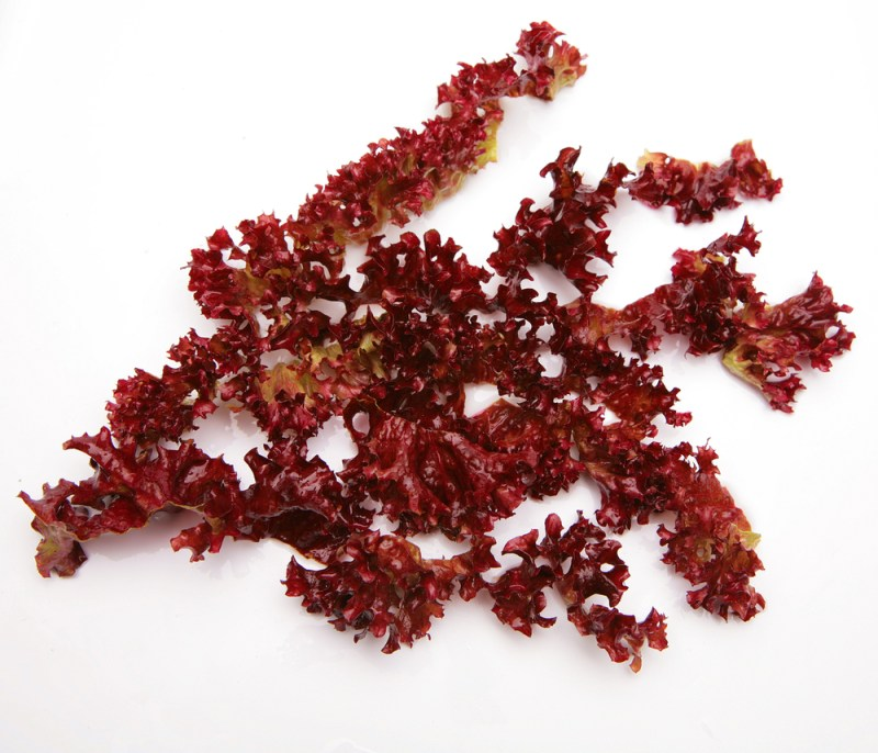 Dulse: a seaweed superfood that tastes like bacon!
