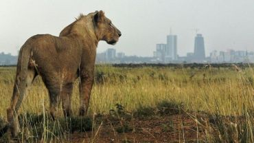 Lions on the loose – the cost of humans on animal habitats