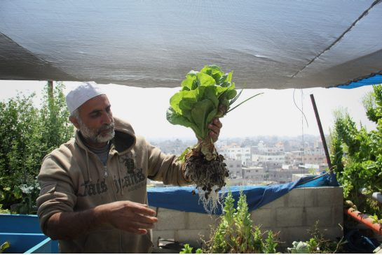 Hydroponic Farms Sustain Urban Gazans