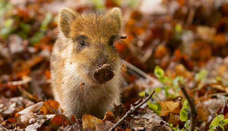 Israel's Wild Pigs Were Once Europeans