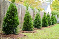 Best 3 Plants for Privacy Fences - Green Side Up Garden ...