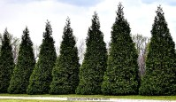 Best Trees For Privacy Hedges