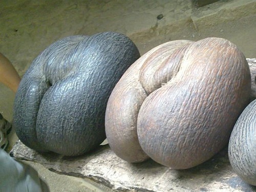 "Coco-De-Mer scientific name used to be callipyge, Greek for ""beautiful buttocks."" Photo by Reed Wiedower - The World's Largest Seed - Coco de Mer – Greetings from the Past"