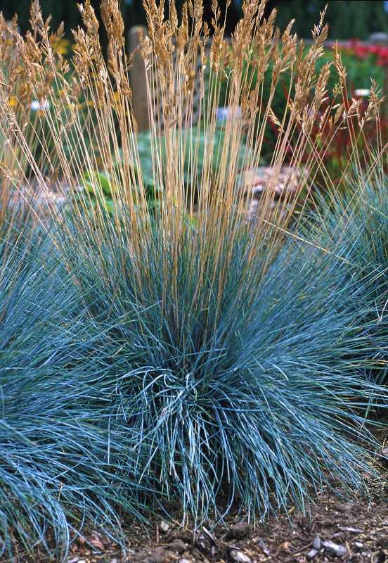 elijah blue fescue ornamental grass