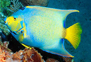 large angelfish, adult queen angelfish may not reach the full color po