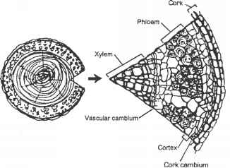 herbaceous stem diagram