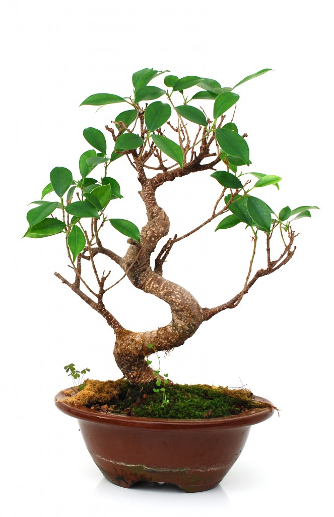 How To Grow A Ficus Bonsai (Ficus Microcarpa Bonsai)   Grow A