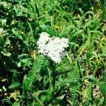 Foraging for Yarrow: Nature's Medicine