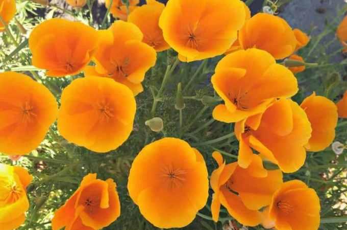 poppies FB