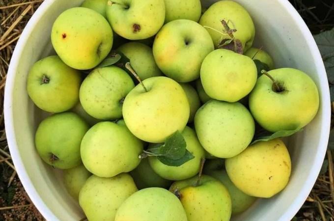 bucket-of-apples