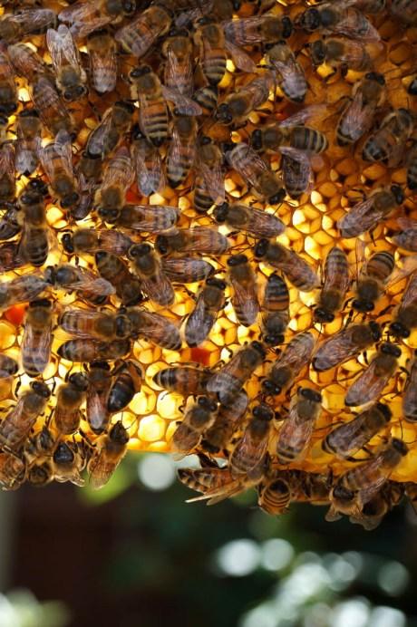 Growing Home Backyard Beekeeping