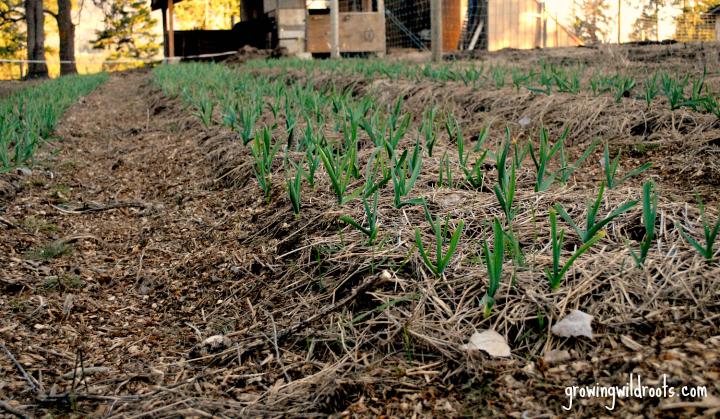 Establishing a Garden Plot: Building up the Beds